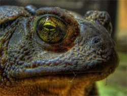 Close-up Toad's Eye